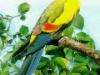 Hegyi papagáj