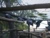 Jákópapagájok kolóniában