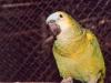 Felnőtt Kékhomlokú amazonpapagáj