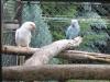 Felnőtt kis sándor papagáj