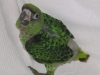 8 hetes Kongó papagáj fióka