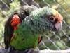 Felnőtt Kongó papagáj