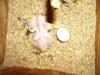 2+5 napos Kongó papagáj fióka és tojás
