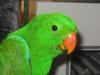 10 hetes Nemes papagáj fióka