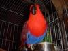 Felnőtt Nemes papagáj