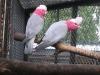 Felnőtt Rózsás kakadu