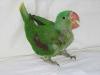 8 hetes Sándor-papagáj