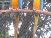Felnőtt Sárga kék ara
