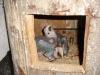 5 hetes Zöldszárnyú ara fióka fészekben